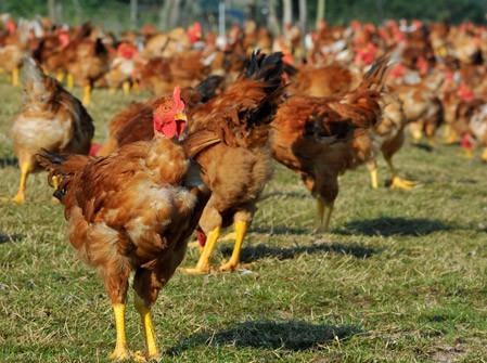 Les volailles fermières d'Auvergne nous confient leur communication